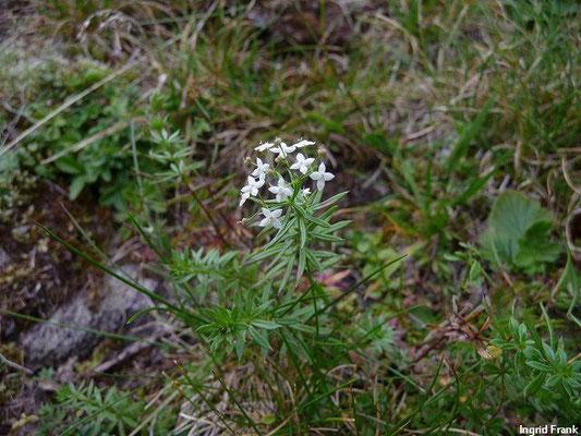 Galium anisophyllon - Ungleichblättriges Labkraut, Alpen-Labkraut