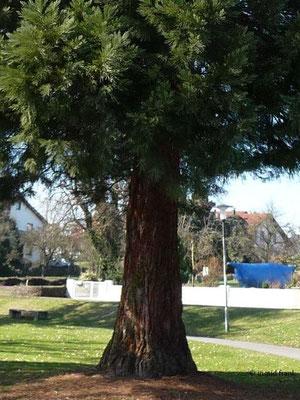 20.03.2011-Sequoiadendron giganteum - Riesenmammutbaum