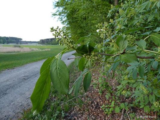 Sambucus racemosa / Trauben-Holunder, Berg-Holunder