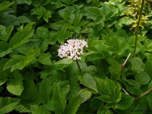 Valeriana montana / Berg-Baldrian    IV-VII   (Botanischer Gartten Berlin)