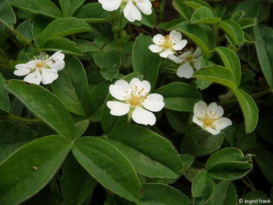 Potentilla montana  (Fremdländische Pflanze; Botanischer Garten Berlin)
