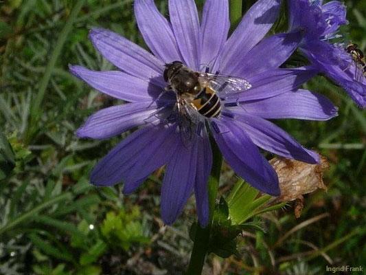 Cichorium endivia - Endiviensalat, Zuckerhut
