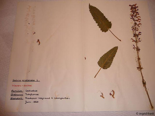 (104) Salvia pratensis - Wiesen-Salbei