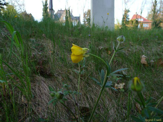 Ranunculus bulbosus / Knolliger Hahnenfuß    IV-V(-VII)