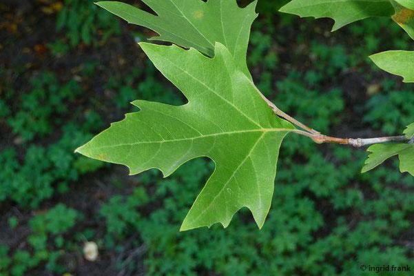 Platanus orientalis / Asiatische Platane (Neophyt) (Hohenheimer Gärten)