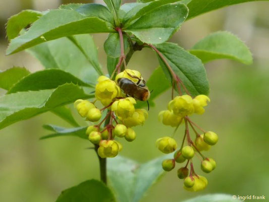 Berberis vulgaris - Gewöhnliche Berberitze