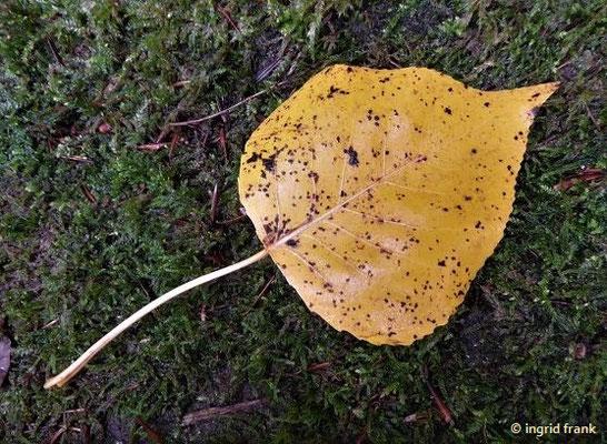 Populus nigra / Schwarz-Pappel