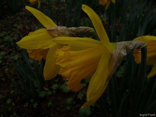 29.03.2010-Narcissus pseudonarcissus - Osterglocke