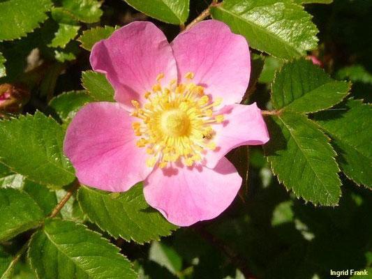 Rosa sicula