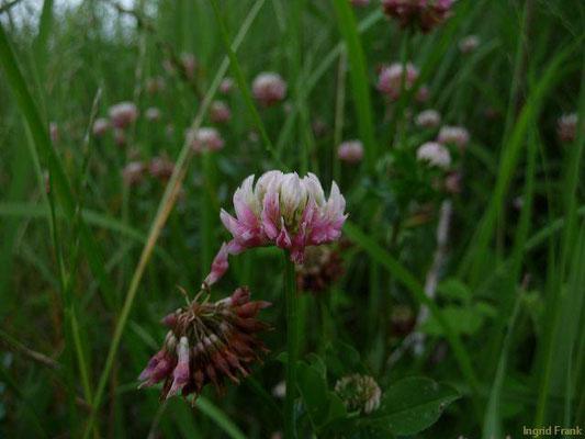 Trifolium hybridum / Bastard-Klee