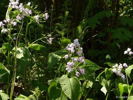 Lunaria rediviva / Ausdauerndes Silberblatt, Ausdauernde Mondviole
