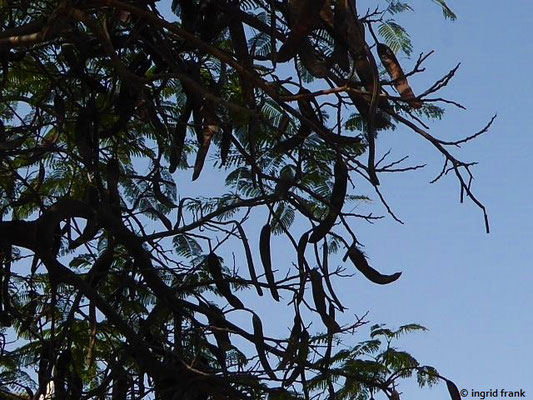 Delonix regia - Flammenbaum (Gran Canaria)