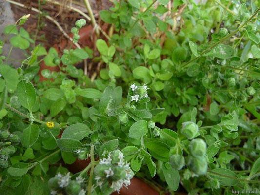 Majorana hortensis - Majoran