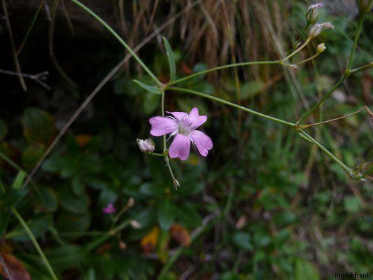 Gypsophila repens / Kriechendes Gipskraut