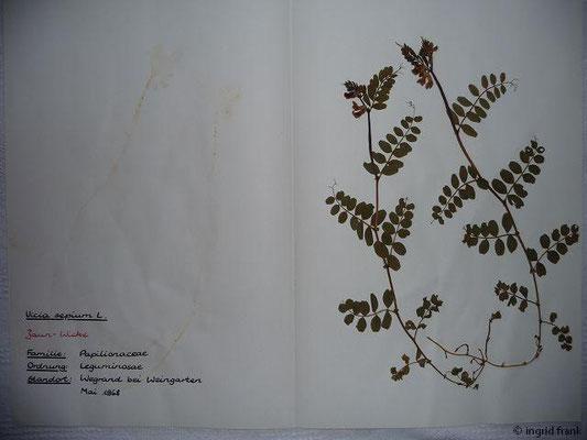 (39) Vicia sepium - Zaun-Wicke