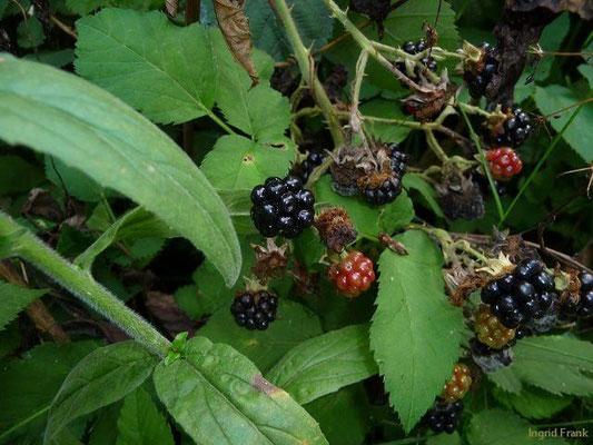 Rubus fruticosus - Echte Brombeere