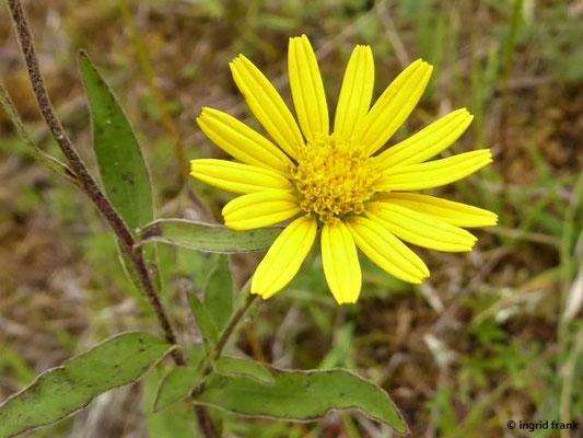 Buphthalmum salicifolium / Weidenblättriges Rindsauge