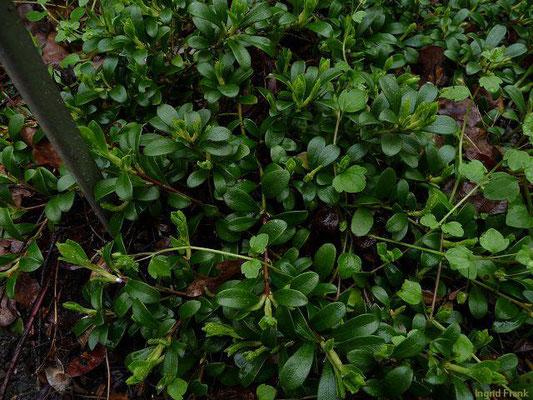 Arctostaphylos spec. / Bärentraube-Arten