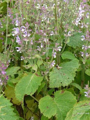 Salvia sclarea / Muskateller-Salbei (Kräutergarten Artemisia bei Stiefenhofen)
