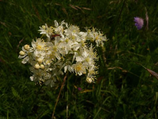 Filipendula vulgaris - Kleines Mädesüß    VI-VII
