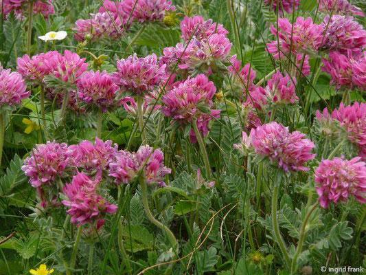 Anthyllis montana / Berg-Wundklee (Botanischer Garten Berlin)