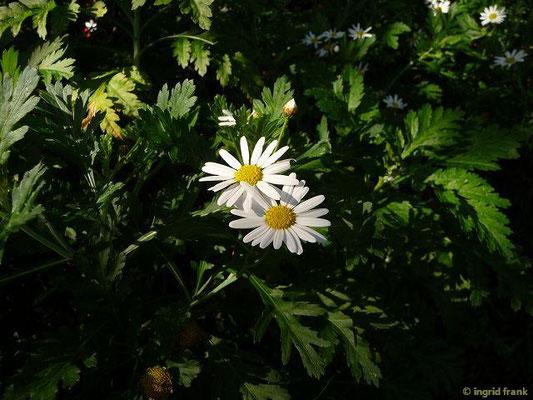 Argyranthemum broussonetii - Broussonet-Kanarenmargerite (La Gomera)