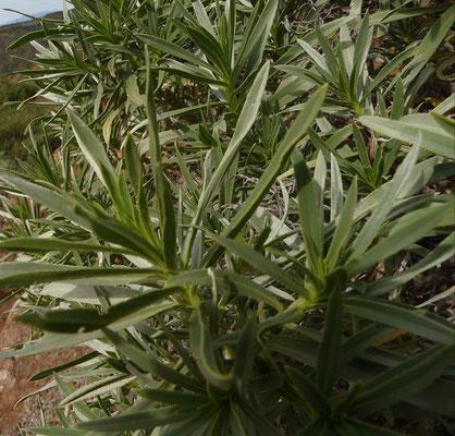 Echium aculeatum - Stacheliger Natterkopf    II-V