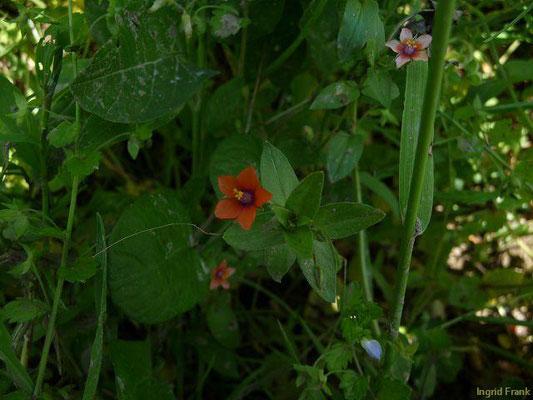 Lysmachia arvensis - Acker-Gauchheil    VI-X