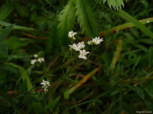 Galium uliginosum - Moor-Labkraut    VI-IX