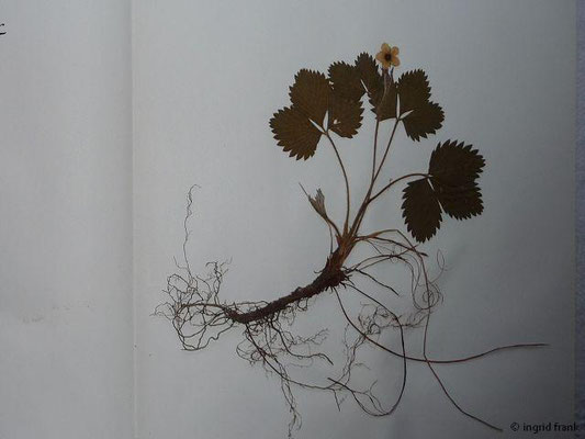 (25) Fragaria vesca - Wald-Erdbeere