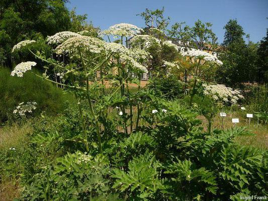 Heracleum mantegazzianum / Riesen-Bärenklau (Botanischer Garten Leipzig)