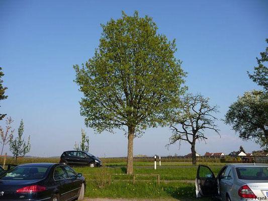 19.04.2011-Acer pseudoplatanus - Berg-Ahorn (bei Langenargen)