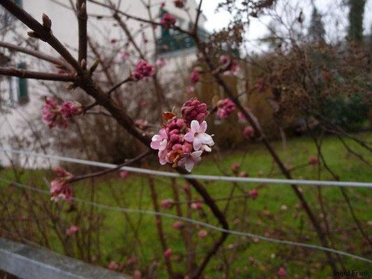 13.01.2013-Viburnum x bodnantense -Winter-Schneeball (Garten in Weingarten)