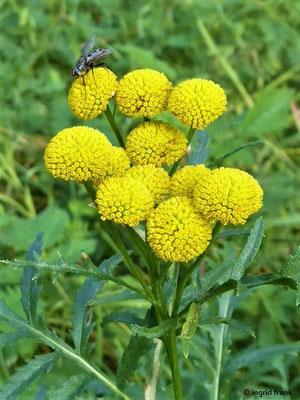 Tanacetum spec. / Tanacetum-Arten