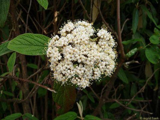 Viburnum rhytidophyllum / Runzeleblättriger Schneeball    V-VI