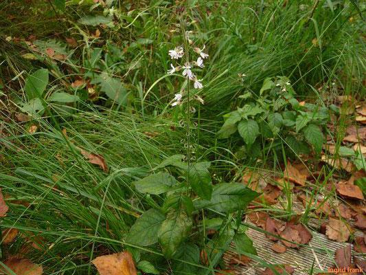 Circaea lutetiana / Großes Hexenkraut