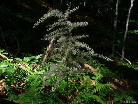 Aruncus dioicus / Wald-Geißbart