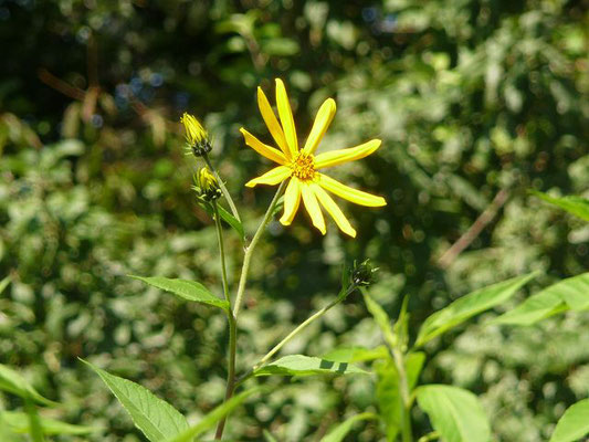 Helianthus tuberosus / Topinambur