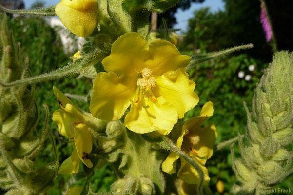 Verbascum densiflorum - Wollblumen