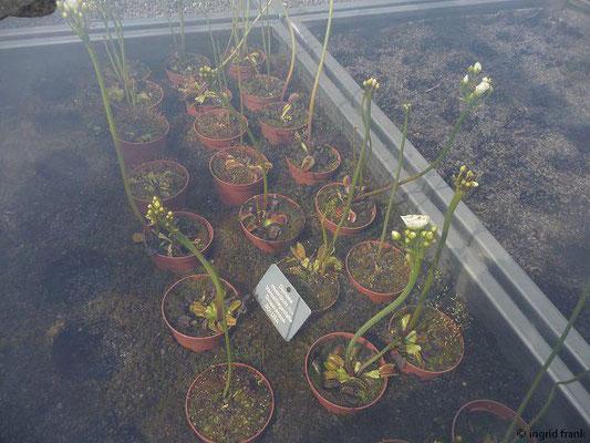 Dionaea muscipula - Venusfliegenfalle  (Botanischer Garten der Universität Basel)