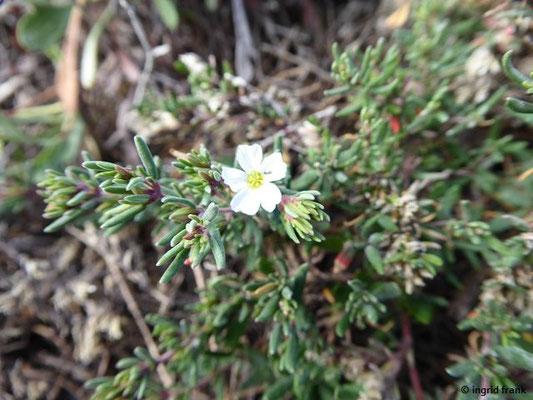 Frankonia ericifolia - Erikablättrige Frankenie