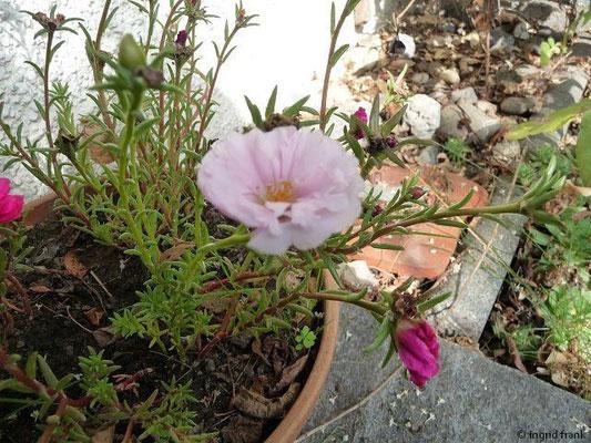 Portulaca grandiflora - Portulakröschen (im eigenen Garten)