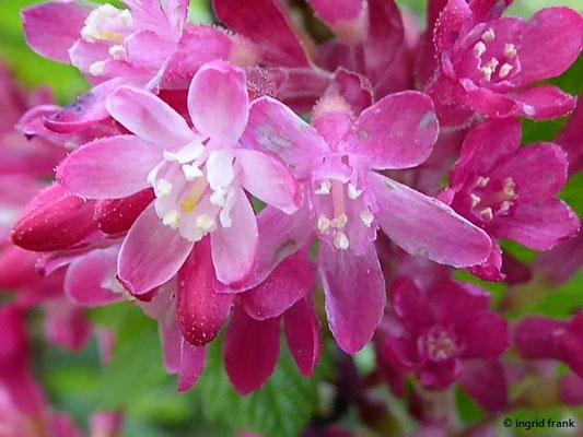 Ribes sanguineum - Blut-Johannisbeere    IV-VI