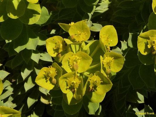 Euphorbia myrsinites - Walzen-Wolfsmilch    IV-VI