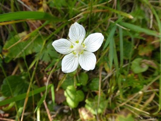 Parnassia palustris / Sumpf-Herzblatt