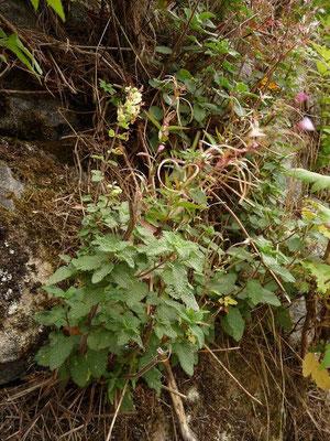 Teucrium scorodonia - Salbei-Gamander