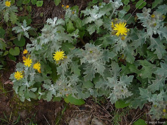 Andryala pinnatifida - Fiederblättrige Andryala
