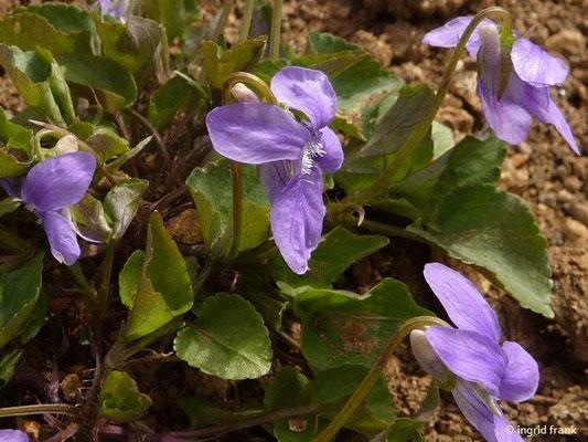 Viola canina ssp. canina / Gewöhnliches Hunds-Veilchen