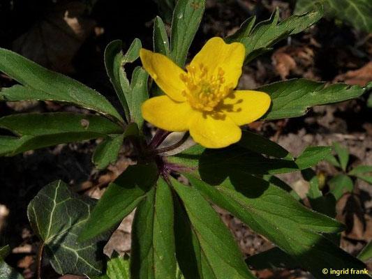 Anemone ranunculoides - Gelbes Windröschen