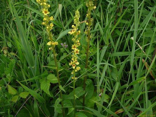Verbascum nigrum - Schwarze Königskerze